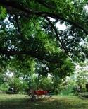 The_oak_tree_2